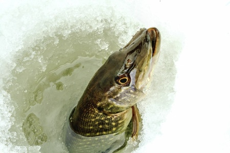 Tips To Bring Home A Northern Pike This Winter