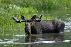 Interesting Facts About the Bull Moose